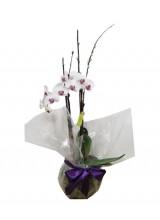 Orquídea branca com miolo lilás.