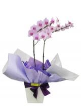 Orquídea Lilás mesclada.