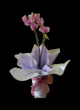 Orquídea Phalaenopsis lilás.