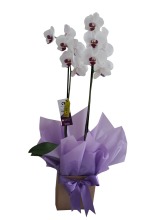Orquídea no Cachepot